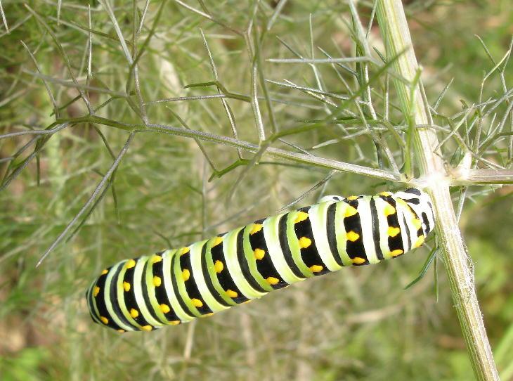 Caterpillar0507