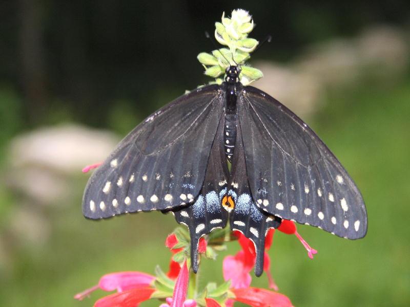 Swallowtail0507