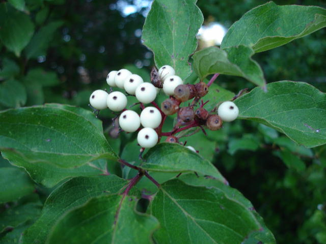 Dogwoodberries0706