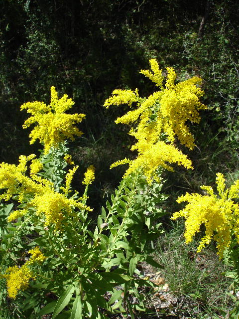 Goldenrod_small_0906