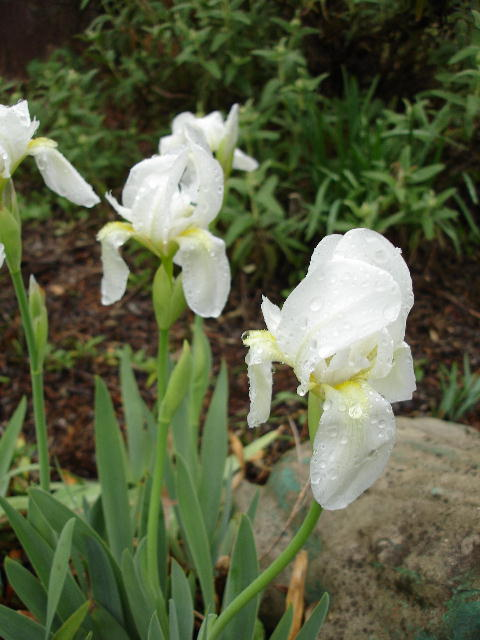 Iris_guild_0306