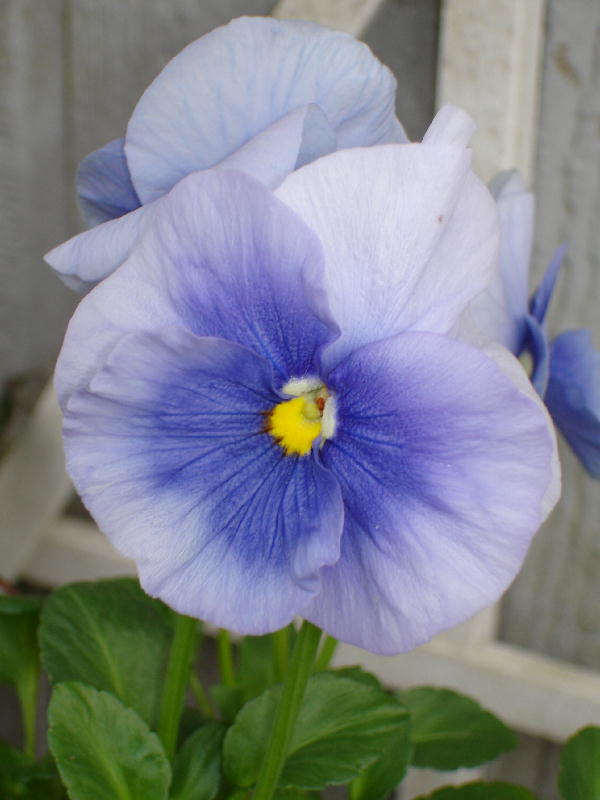 Pansy_purple_0106