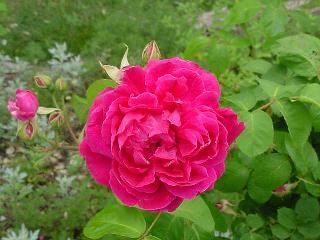 Rose_blush_0404