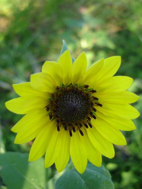 Sunflower0706