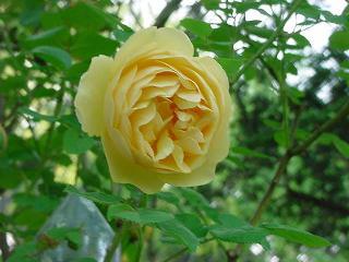 Yellowrose0403