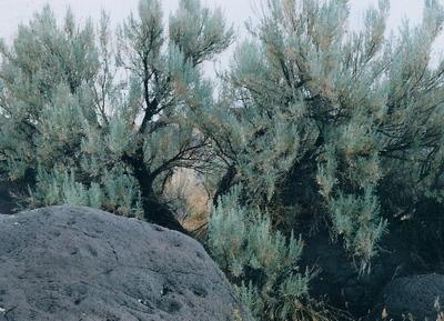 Sagebrush_2