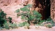 Escalante_tree